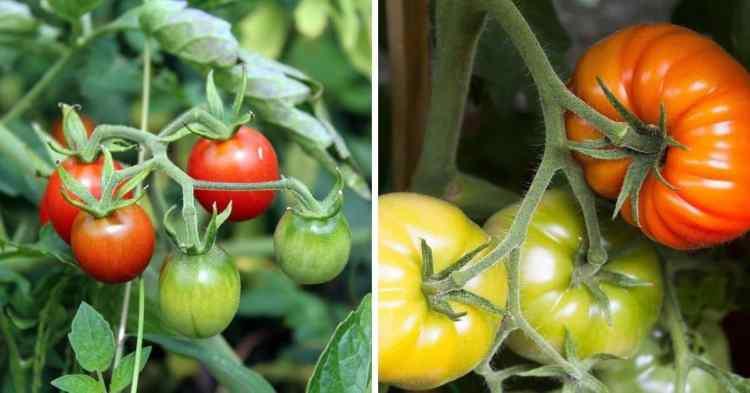 cherry tomatoes versus tomatoes