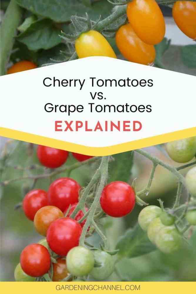 grape tomatoes and grape tomatoes with text overlay cherry tomatoes versus grape tomatoes explained