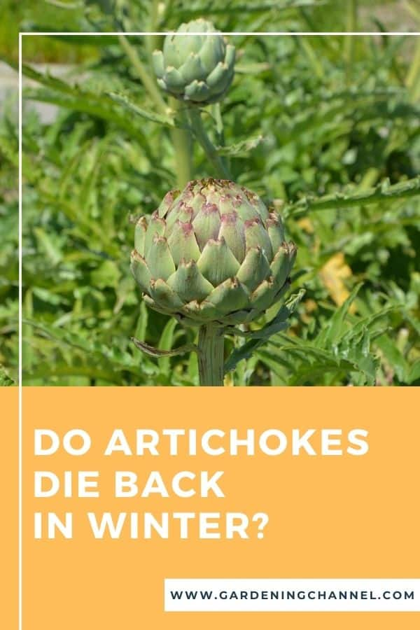 artichokes in garden with text overlay Do artichokes die back in winter?