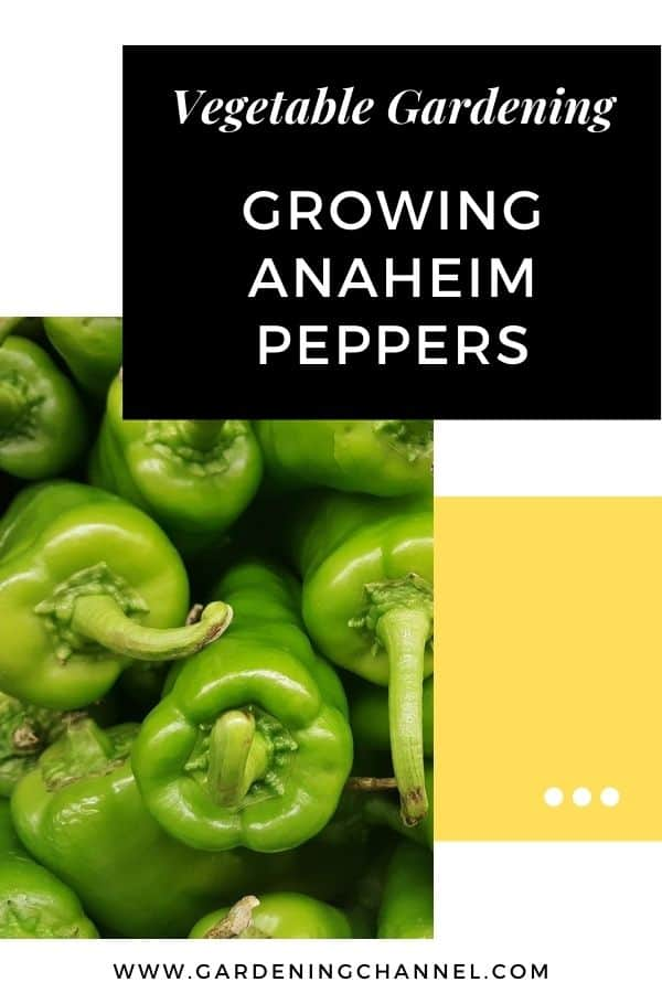 harvested anaheim peppers with text overlay vegetable gardening Growing Anaheim Peppers