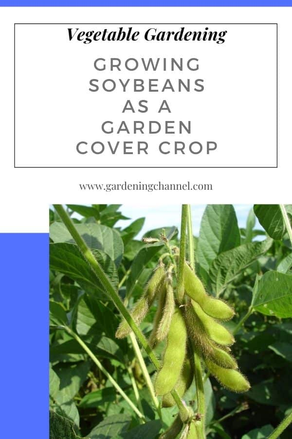 growing soybeans with text overlay vegetable growing soybeans as a garden cover crop