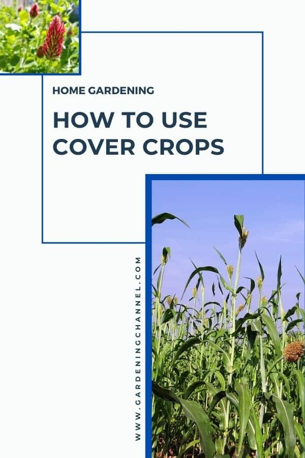 red clover and sorghum with text overlay How to Use Cover Crops with a Home Garden