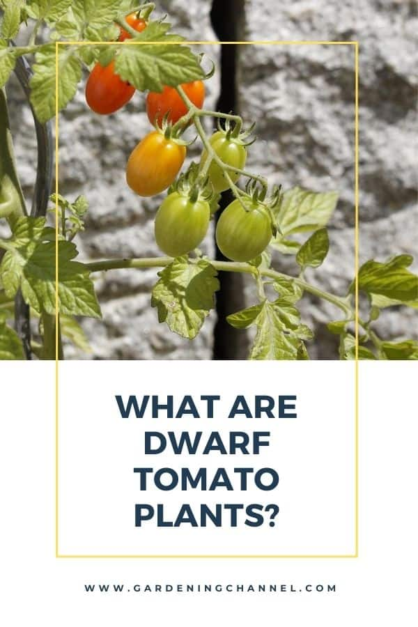 tomato plants growing in garden bed with text overlay What Are Dwarf Tomato Plants?