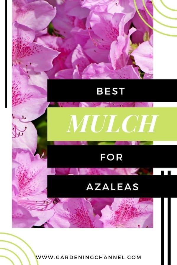 pink azaleas with text overlay best mulch for azaleas