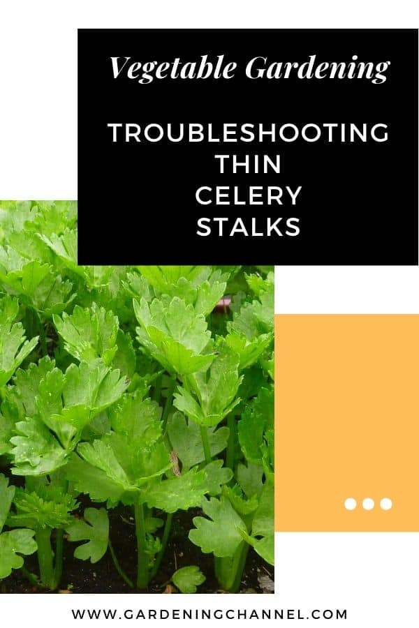 celery in garden with text overlay vegetable gardening troubleshooting thin celery stalks