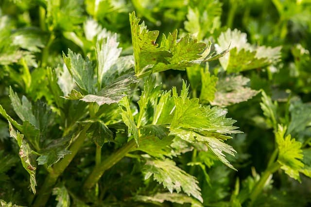 troubleshooting celery for pests and diseases