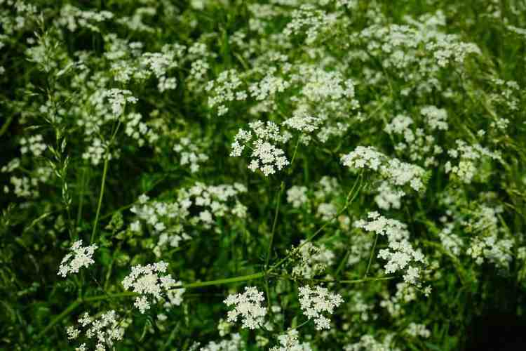 caraway herb plant growing and flowering