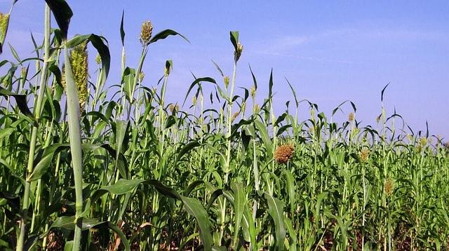 sorghum cover crop