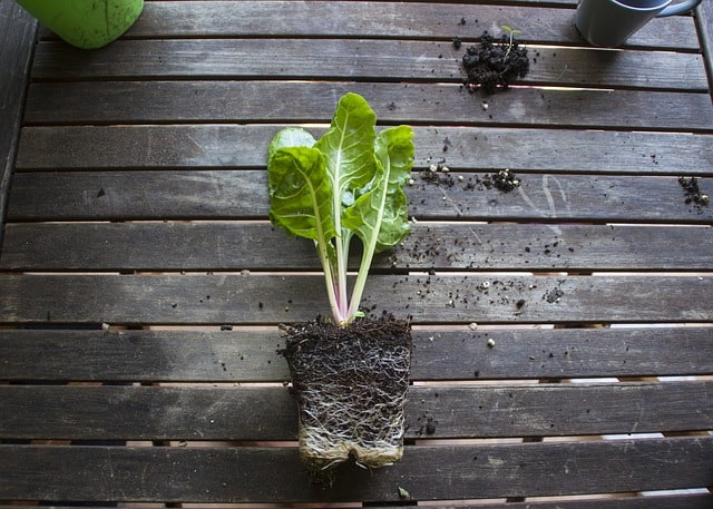 planting swiss chard in containers