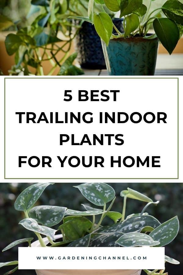 pothos and philodendron with text overlay five best trailing indoor plants for your home