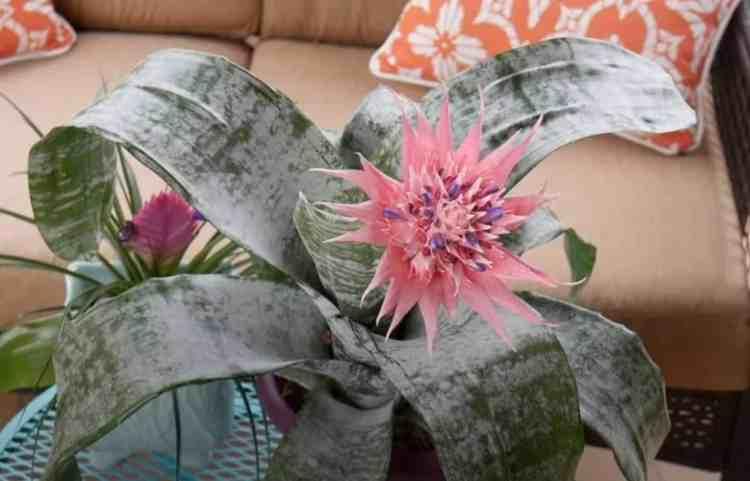 Aechmea Bromeliad house plant