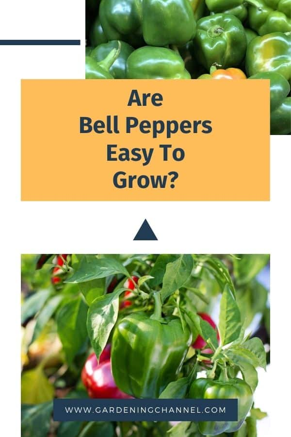 harvested bell peppers and growing in garden with text overlay are bell peppers easy to grow