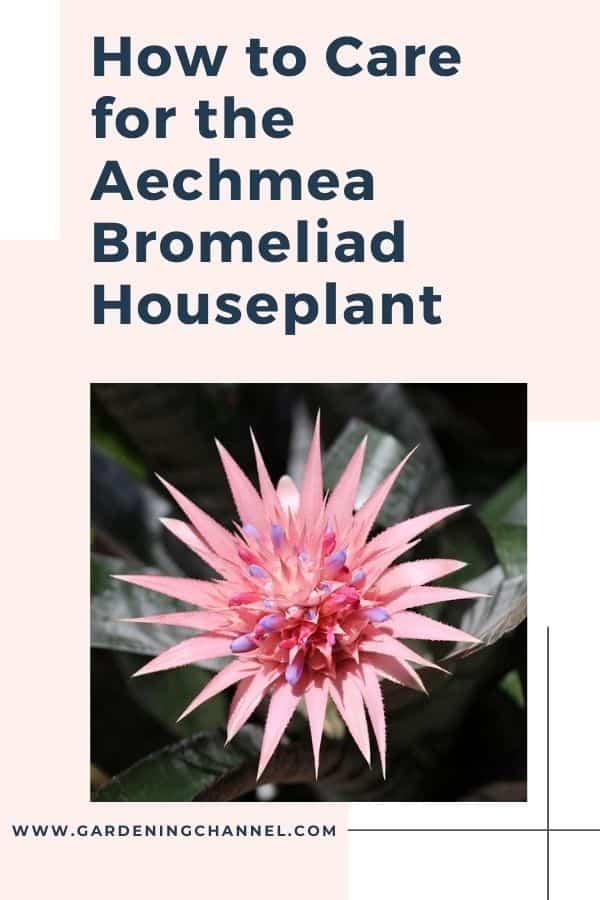 Aechmea Bromeliad with text overlay how to care for  Aechmea Bromeliad Houseplant