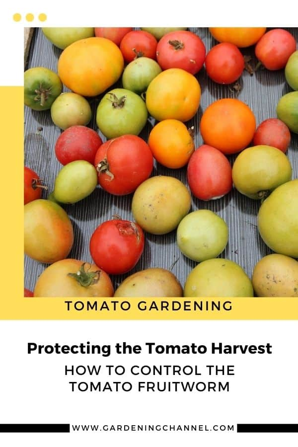 tomato harvest with text overlay tomato gardening protecting the tomato harvest how to control the tomato fruitworm