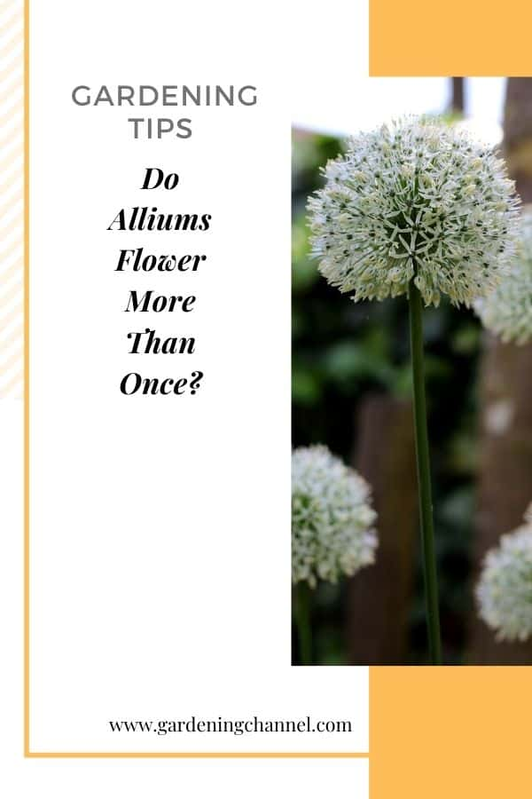 flowering onion with text overlay gardening tips Do Alliums Flower More Than Once?