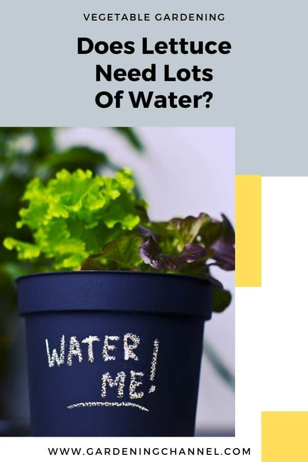 lettuce growing in container with text overlay vegetable gardening Does lettuce need lots of water?