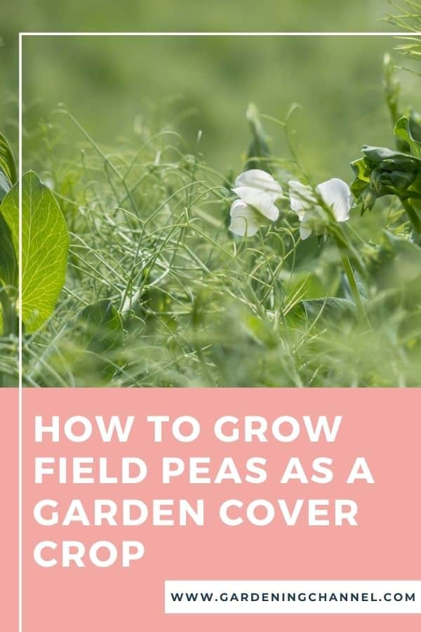 field peas with text overlay how to grow field peas as a garden cover crop