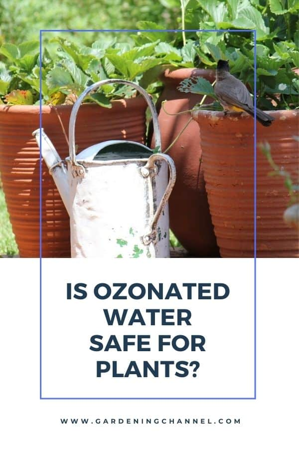 strawberry container plants with text overlay Is ozonated water safe for plants?
