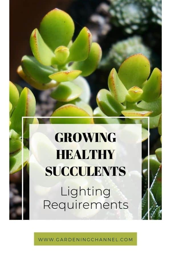 jade plant in sunlight with text overlay growing healthy succulents lighting requirements