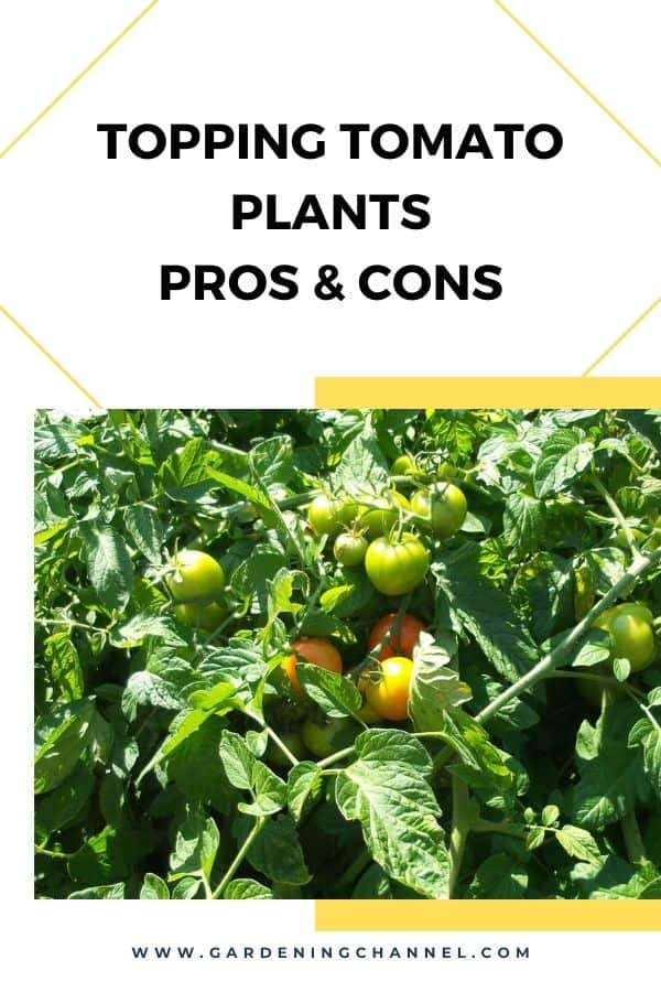 tomato plants growing in garden with text overlay Topping Tomato Plants Pros and Cons
