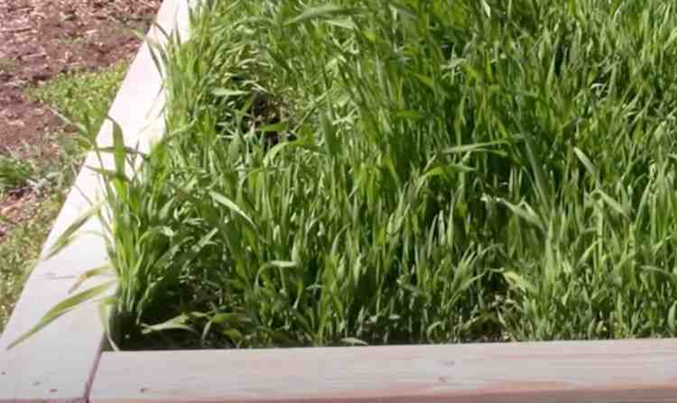 winter rye cover crop in raised bed garden