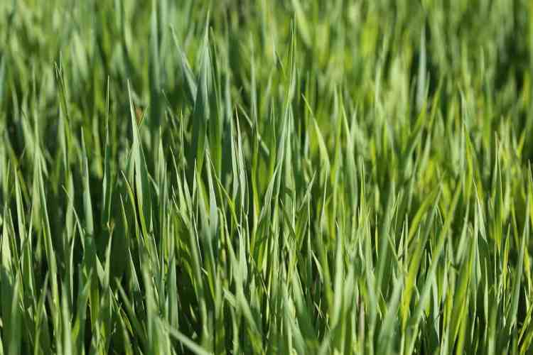oats growing