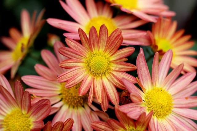 growing chrysanthemum