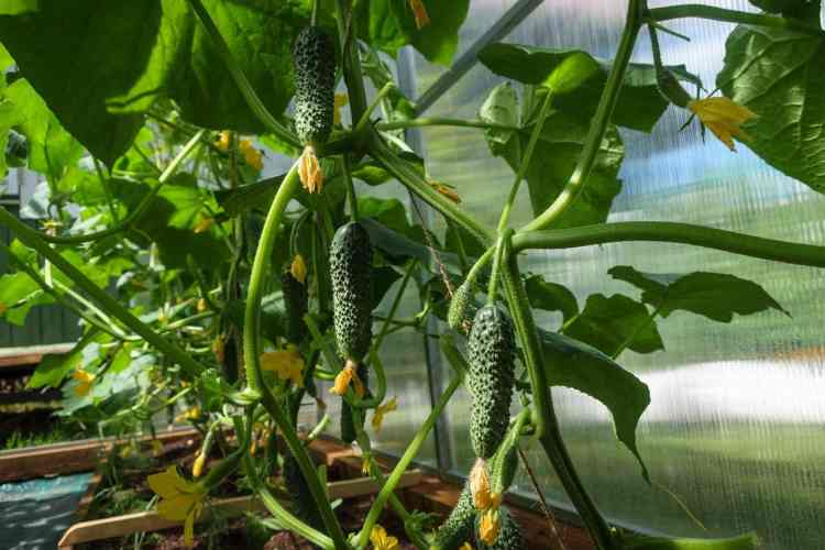 cucumbers in containers growing plants