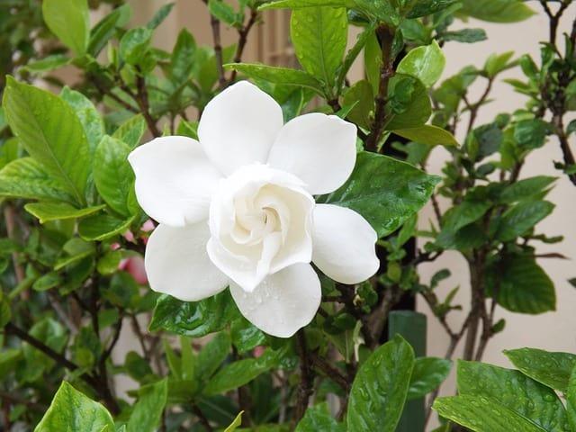 growing gardenia from cuttings