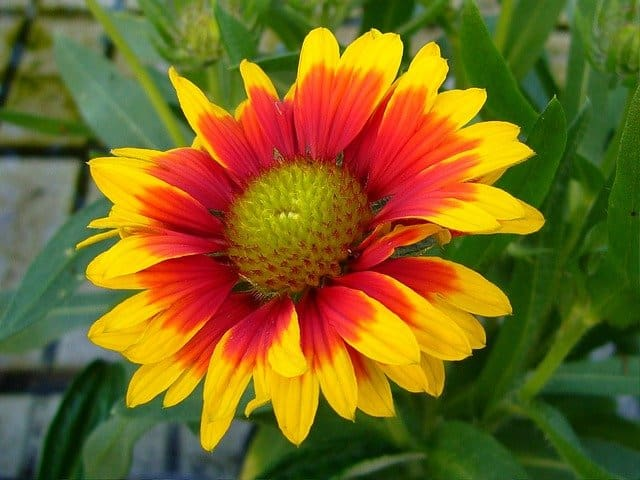 blanket flower perennial