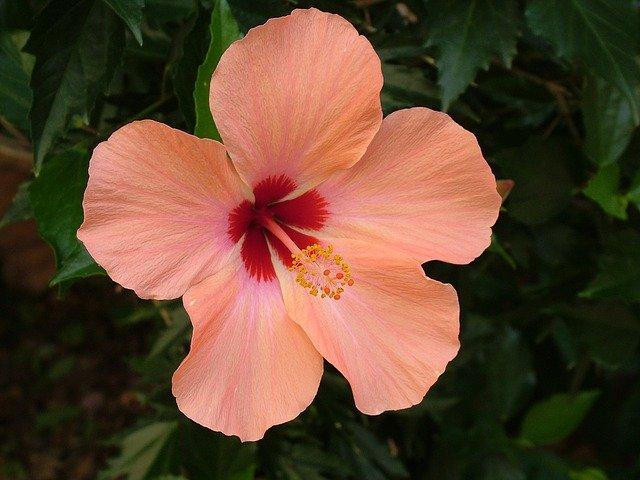 hibiscus perennial