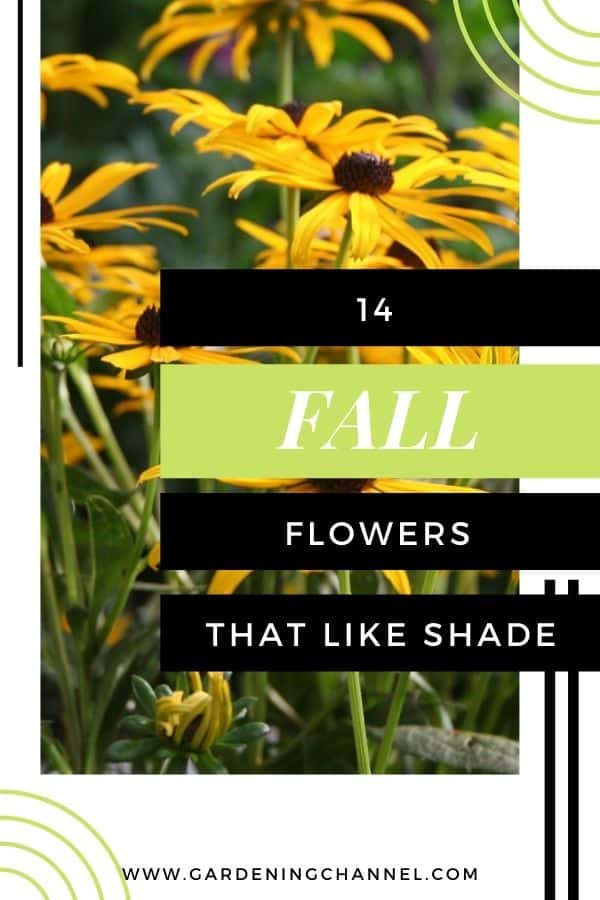 black-eyed susans with text overlay fourteen fall flowers that like shade