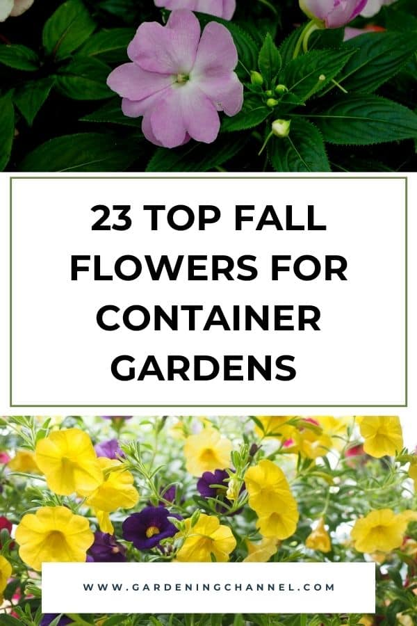 impatiens and million bells with text overlay twenty three top fall flowers for container gardens