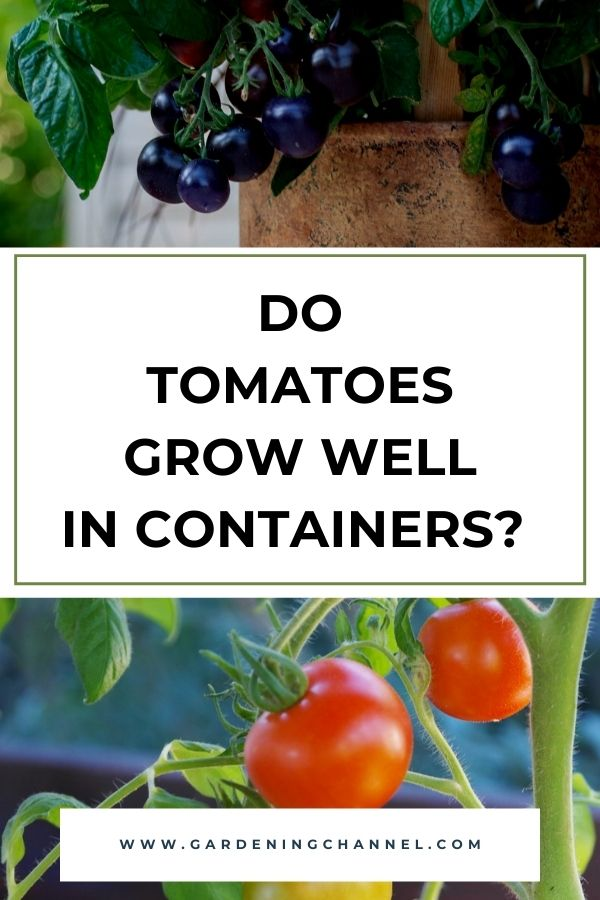 cherry tomatoes growing in pots with text overlay Do Tomatoes Grow Well in Containers?
