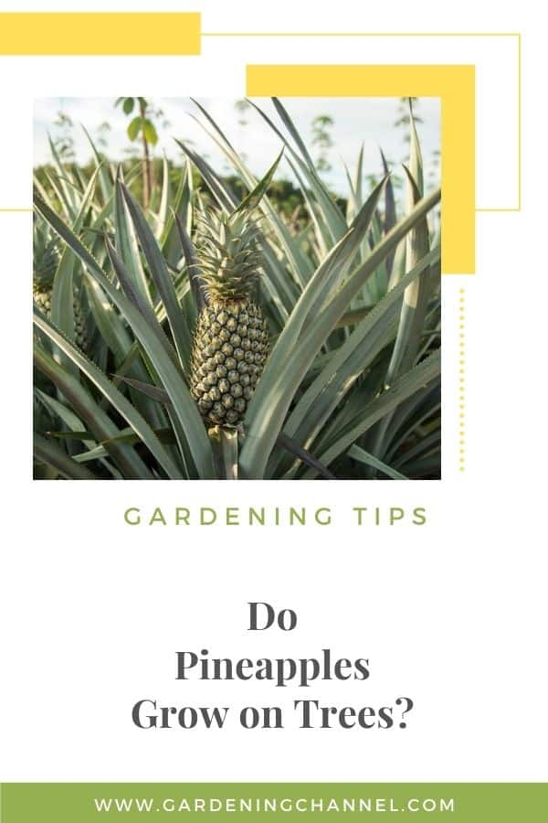 pineapple plant with text overlay gardening tips do pineapples grow on trees