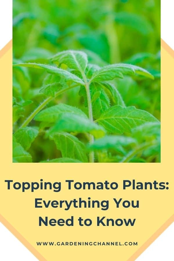 tomato plant growth with text overlay Topping Tomato Plants: Everything You Need to Know