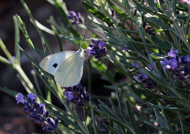 growing lavender
