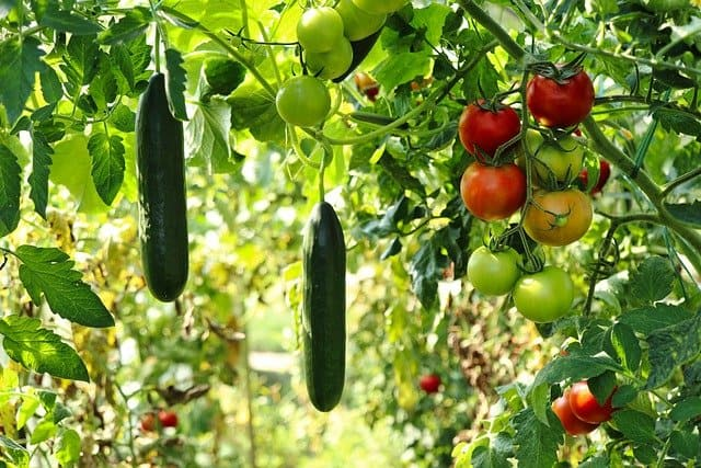 tomatoes and cucumbers in the garden