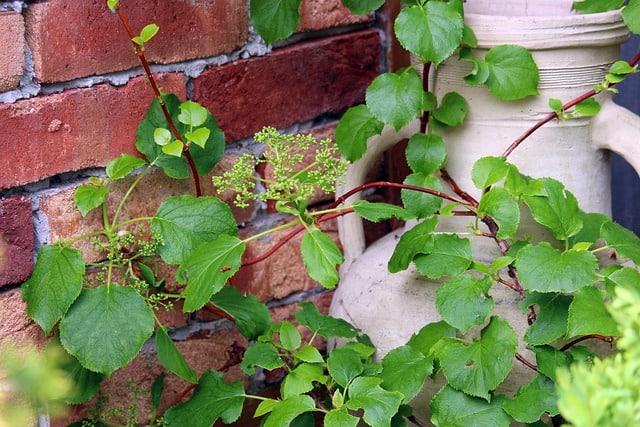 climbing hydrangea on porch