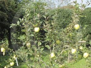 Picture of apple orchard