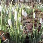 Plant of the month – Snowdrop