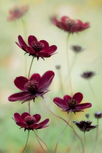 Mandy Disher, 'Cosmos atrosanguineus 'Choca Mocha', Winner, Plant Portraits category 2011 sponsored by Photobox