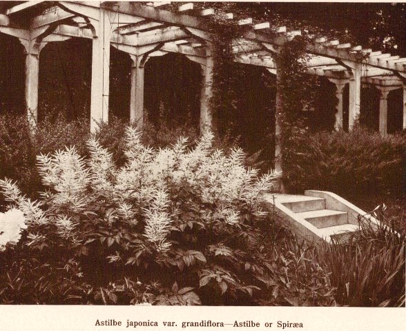 Astilbe japonica var. grandiflora