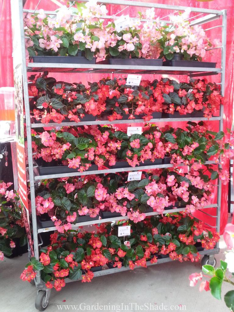 Big series of begonia