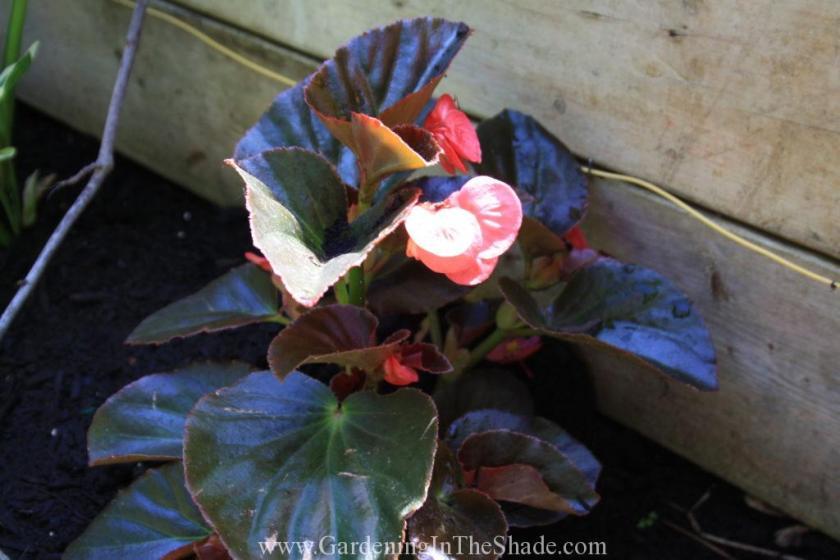 Megawatt Pink Bronze Leaf