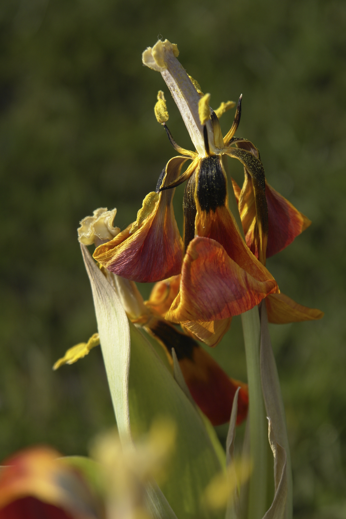 Deadheading Flowers How And Why To Remove Dead Flowers From Plants