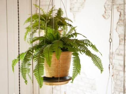 Image result for Fern houseplant