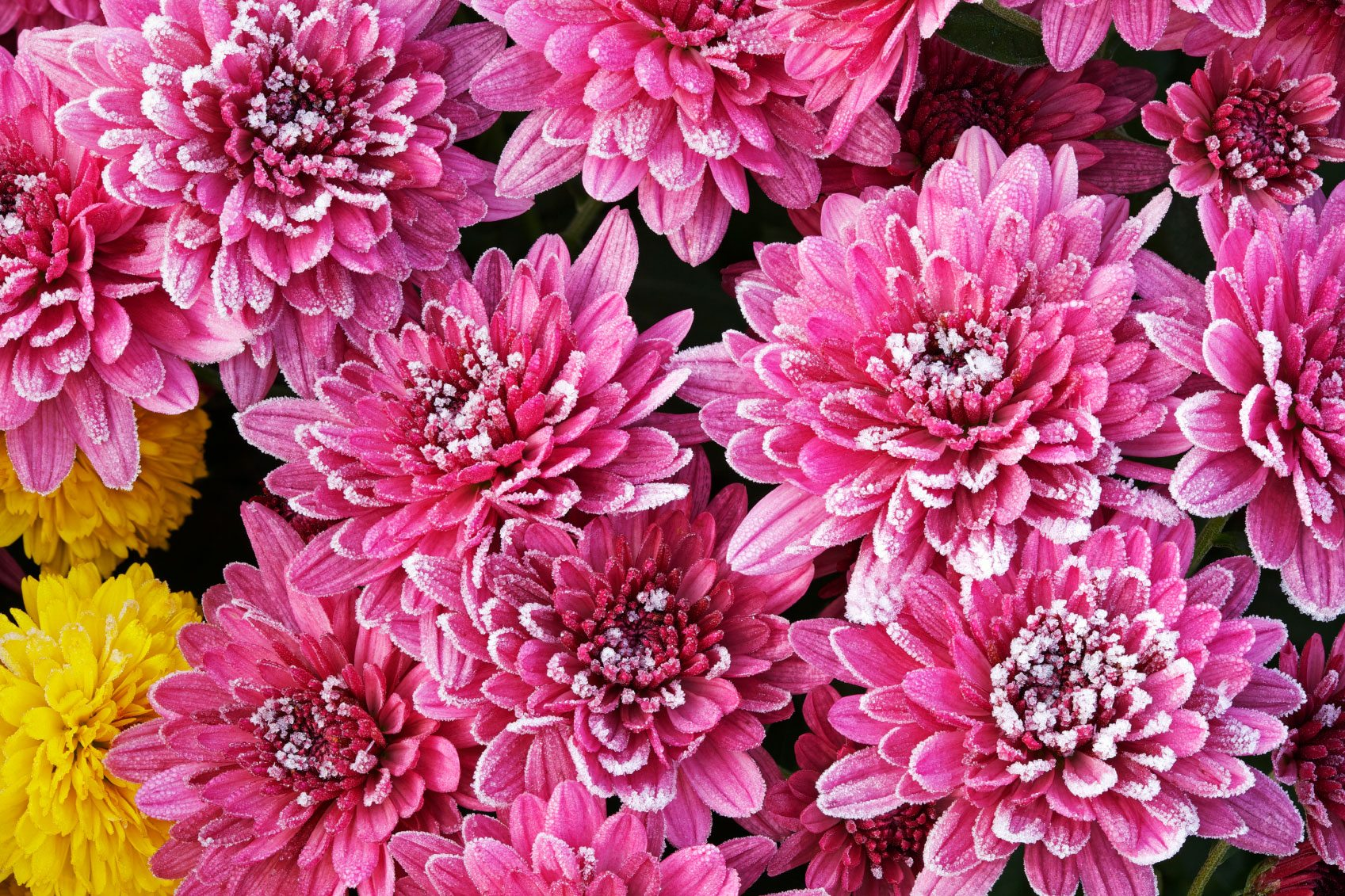 Wintering Mums Tips For Winter Care For Mums