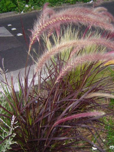 Care Of Purple Fountain Grass How To Grow Purple Fountain Grass