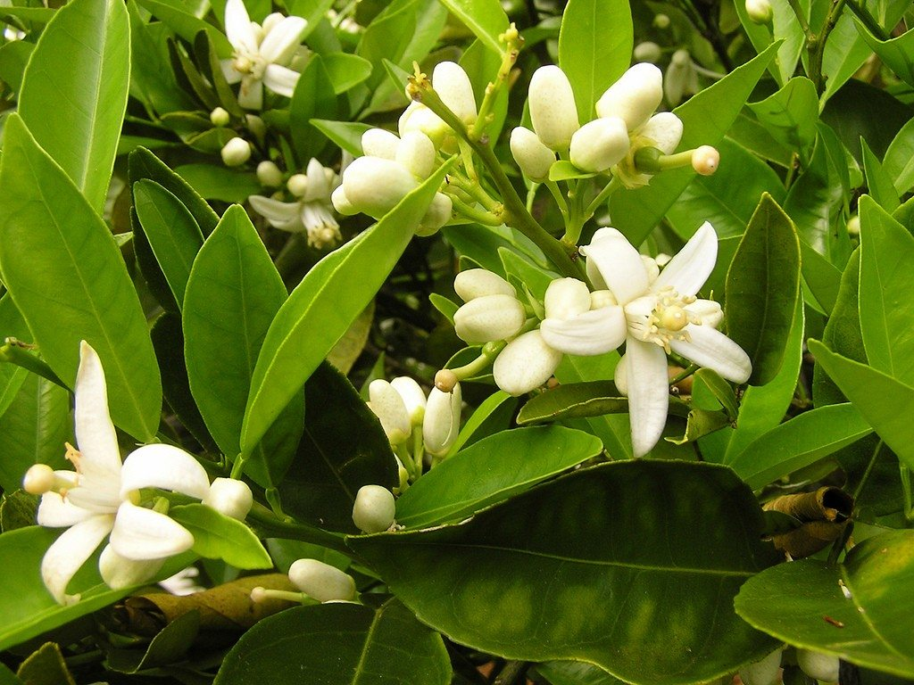 Citrus Flowering Season When Do Citrus Blossoms Bloom